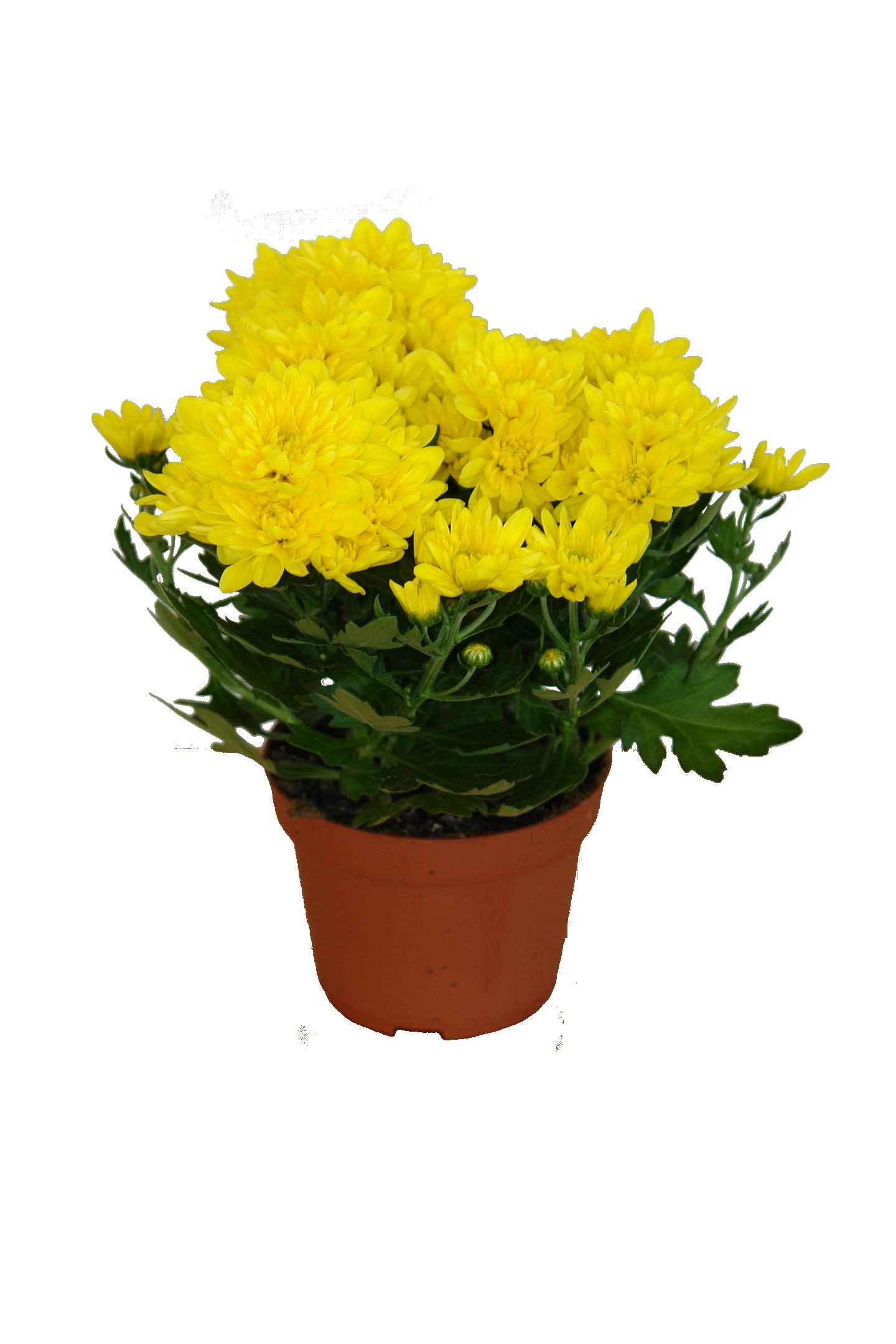 Хризантема. Уход за цветком в домашних условиях, фото 98