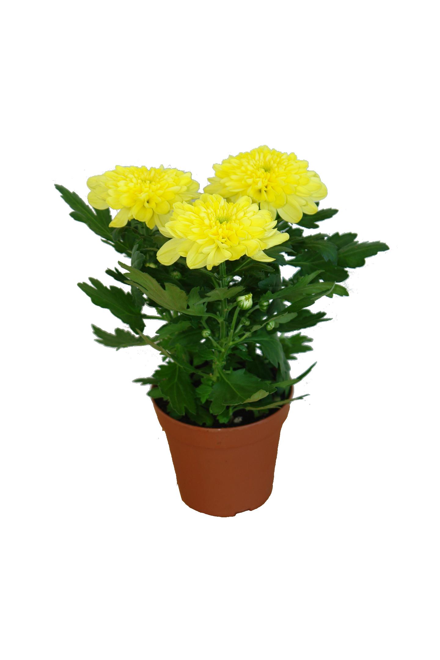 Хризантема. Уход за цветком в домашних условиях, фото 51